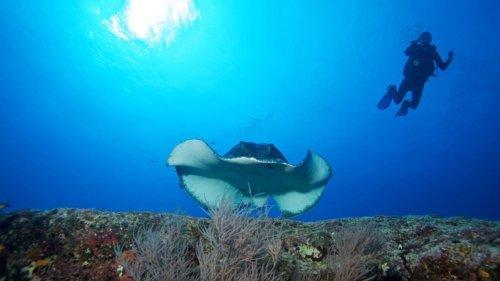 Scuba Diving Maldives Stingray
