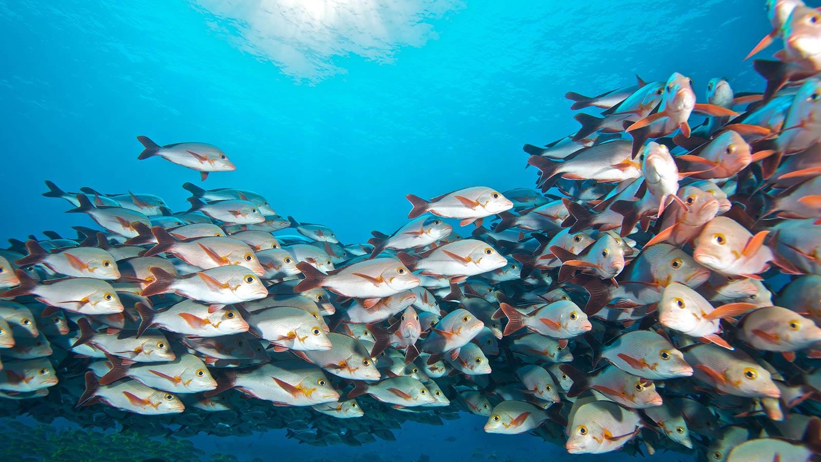 Scuba Diving Maldives Snappers