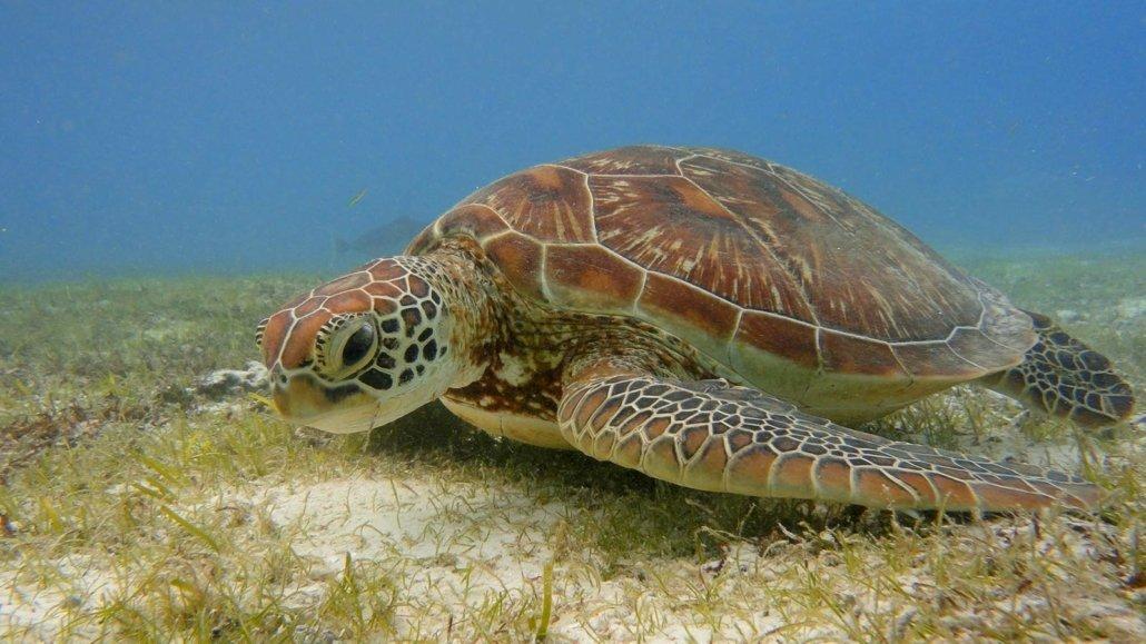 Scuba Diving Maldives Turtle