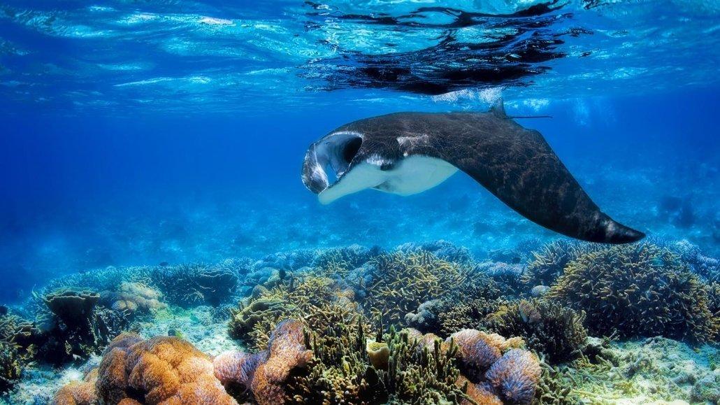 Manta Ray Maldives Innahura