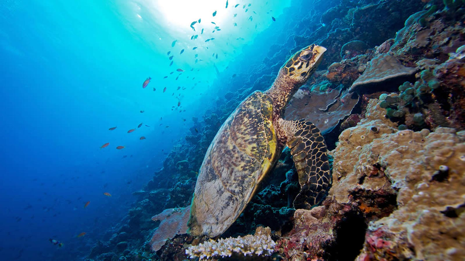 Maldives turtle